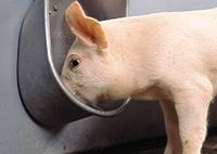 конструкция для кормления свинок