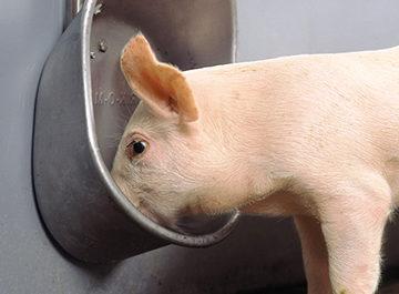 свиная кормушка