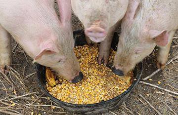 свиньи едят из таза