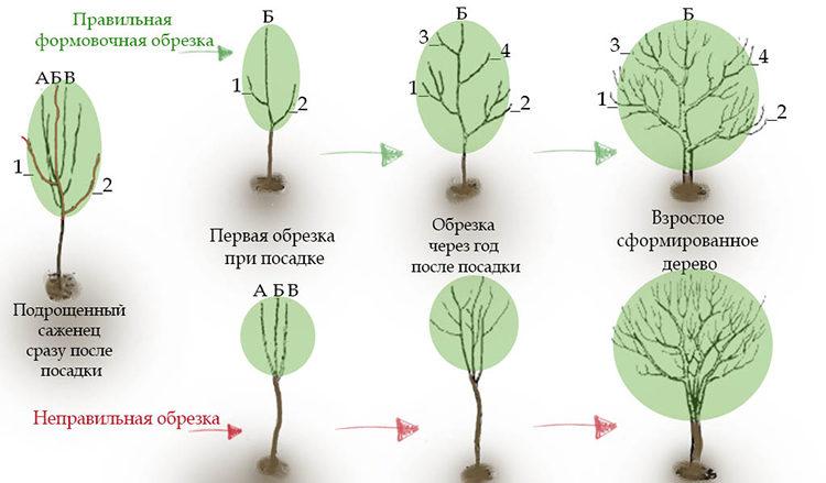 этапы обрезки