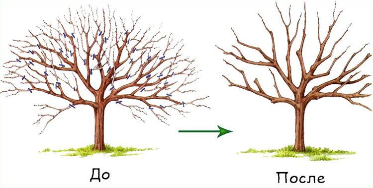 садовые деревья - подрезка