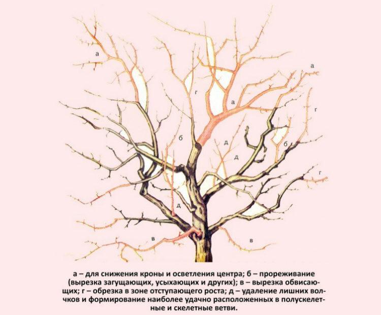 старая крона дерева