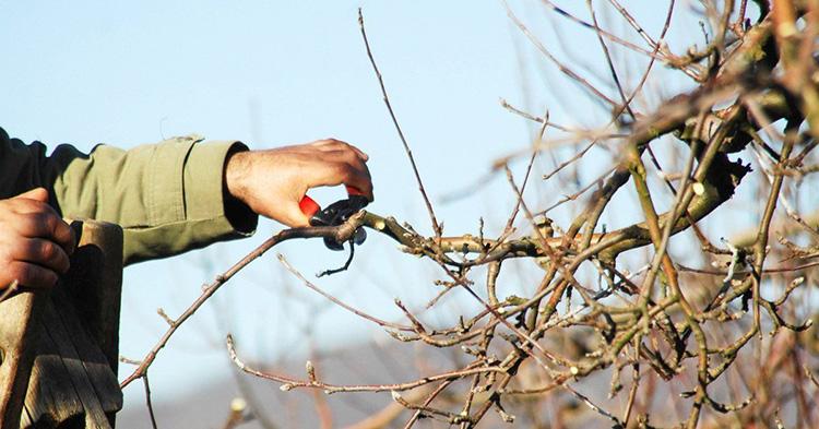 неправильная обрезка может убить дерево